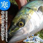 天然 寒ブリ一本物 3kg 釣れた日に発送 / 寒ぶり / 寒鰤