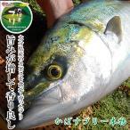 かぼすブリ一本物 約5kg 大分県産 養殖 鮮魚 鰤 寒ブリ 嫁ぶり