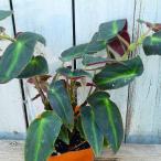 花苗 日々草 タイタン 花色お任せ 3.5号 暑さに強い 苗 夏から晩秋の花壇に 寄せ植えにも 8.27