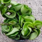 観葉植物 ホヤ カルノーサ コンパクタ サクララン 多肉植物 苗 3号ポット 6.16<br>