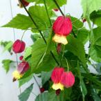 鉢花 アブチロン チロリアンランプ 6号鉢 ツル性 長く咲く 6.18