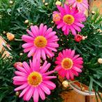 花苗 マーガレット モリンバ ヘリオ ウォーターメロン 3.5号ポット ガーデニング 春の花 0209