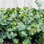 ユーカリ ベイビーブルー 矮性種 3.5号 苗 常緑樹 シルバーリーフ リトルボーイブルー 8.18
