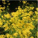 花苗 インパチェンス 八重咲き  4号ポット バラ咲き シルエット アップルブロッサム 6.25