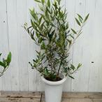 オリーブ ひなかぜ 樹高70cm 充実苗木 HINAKAZE 7号鉢 常緑樹 庭木 7.28