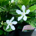 花苗 斑入りセイロンライティア バニラクラッシュ 3号 花苗 花壇苗 白花 夏の花 8.4