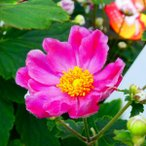 花苗 秋明菊 ダイアナ 矮性種 3.5号 シュウメイギク ピンク 2色咲き 山野草 宿根草 苗 8.27
