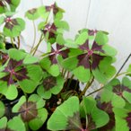 花苗 オキザリス デッペイ アイアンクロス 四つ葉のクローバー 4号 球根植物