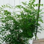 シマトネリコ 株立ち 全高75cm 7号鉢 鉢植え 庭木にも 観葉植物にも 9.10