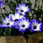 鉢花 セネシオ セネッティ レッド 赤紫 5号 青花 サントリーフラワーズ 12.24