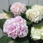 鉢花 アジサイ コットンキャンディ ピンク花 3.5号ポット あじさい 鉢植え 室内 0408