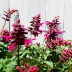 花苗 スーパーサルビア ロックンロール ピンクスパイダー ピンク花  夏の花  4号 0706