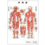 医道の日本社 人体解剖学チャート骨格筋 ポスター パネルなし(SR-116A)+さらに選べるおまけ付