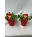 幸せの 四つ葉 の クローバー 2鉢 プレゼント お祝い 3.5寸 苗 鉢植え シロツメグサ 四つ葉のクローバー