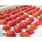 夏いちご M(300g・30粒前後)×6トレー(計1.8kg) /北海道産 出荷期間:6〜12月