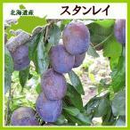 プルーン スタンレイ1Kg(生果実 500g×2)北海道産 出荷時期:9月
