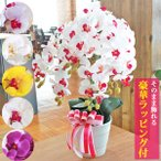 胡蝶蘭 造花 お祝い 常滑産陶製鉢に入った気品あふれる胡蝶蘭の鉢植え5本立 開店祝い 開院祝い CT触媒