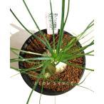 アルブカ フミリス/3号硬質鉢 ユリ科アルブカ属 多肉植物 ビザールプランツ
