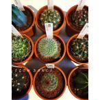 サボテン 品種おまかせ 5鉢セット/2.5号プラ鉢 サボテン科 多肉植物
