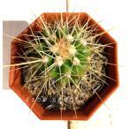 サボテン 金鯱/2号八角型プラポット エキノカクタス属 多肉植物
