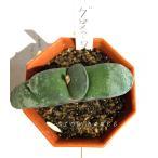 ガステリア グロメラータ/2号八角型プラポット ススキノキ科ガステリア属 多肉植物