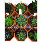 ハオルチア 品種おまかせ 6鉢セット/2号八角型プラポット ツルボラン科 多肉植物