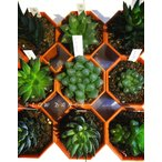 ハオルチア おまかせ8品種セット/2号八角型プラポット ツルボラン科 多肉植物 1鉢378円