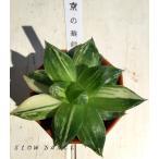 ハオルチア 京の華錦/2号八角型プラポット ツルボラン科 多肉植物