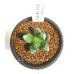 ハオルチア グリーンジェム 万象×オブツーサ/2.5号硬質鉢 ツルボラン科 多肉植物
