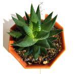ハオルチア ヌーダム/2号八角型プラポット ツルボラン科 多肉植物