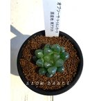 ハオルチア オブツーサ・トゥルンカータ/2.5号硬質鉢 ツルボラン科 多肉植物