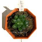 ハオルチア オブツーサ・トゥルンカータ/2号八角型プラポット ツルボラン科 多肉植物