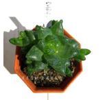 ハオルチア ウンブラティコーラ/2号八角型プラポット ツルボラン科 多肉植物
