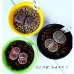 リトープス 3品種6頭セット レビュー特典 抜き苗でお届けいたします/2号プラ鉢 ハマミズナ科 多肉植物