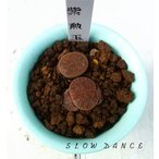 リトープス 紫勲玉 抜き苗でお届けいたします/2号鉢 玉型メセン 多肉植物