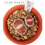 リトープス トップレッド 抜き苗でお届けいたします/2号鉢 ハマミズナ科 多肉植物