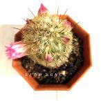 サボテン 夕霧×黄金司/2号八角型プラポット マミラリア属 多肉植物