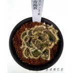 サボテン オプンチア・ランセオラータ綴化 青海波/3号硬質鉢 サボテン科オプンチア属 多肉植物 ビザールプランツ