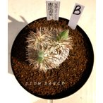画像現品 恵比寿笑い パキポディウム・ブレビカウレ B:直径約45mm/3.5号硬質鉢 キョウチクトウ科パキポディウム属 多肉植物 ビザールプランツ