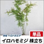 イロハモミジ 株立ち 樹高2.0m前後 (根鉢含まず)