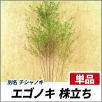 エゴノキ 株立ち 樹高1.8〜2.0m前後 (根鉢含まず)