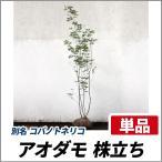 アオダモ 株立ち 樹高1.8〜2.0m前後 (根鉢含まず