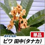 ビワ 田中 樹高80cm前後 単品 果樹