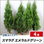 スマラグ エメラルドグリーン 樹高1.2m前後 4本セット