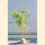 ヒノキ 単木 樹高2.0m前後 (根鉢含まず)