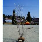 ジューンベリー 株立ち 樹高1.8〜2.0m前後 (根鉢含まず)