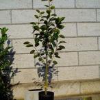 カキ 次郎 樹高1.8〜2.0m前後 (根鉢含まず)