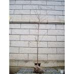 サクラ 河津桜 (カワヅザクラ) 樹高2.0m前後 (根鉢含まず)
