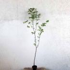 ケヤキ 単木 樹高2.0m前後 (根鉢含まず)