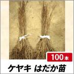 ケヤキ はだか苗 樹高60cm前後 100本セット